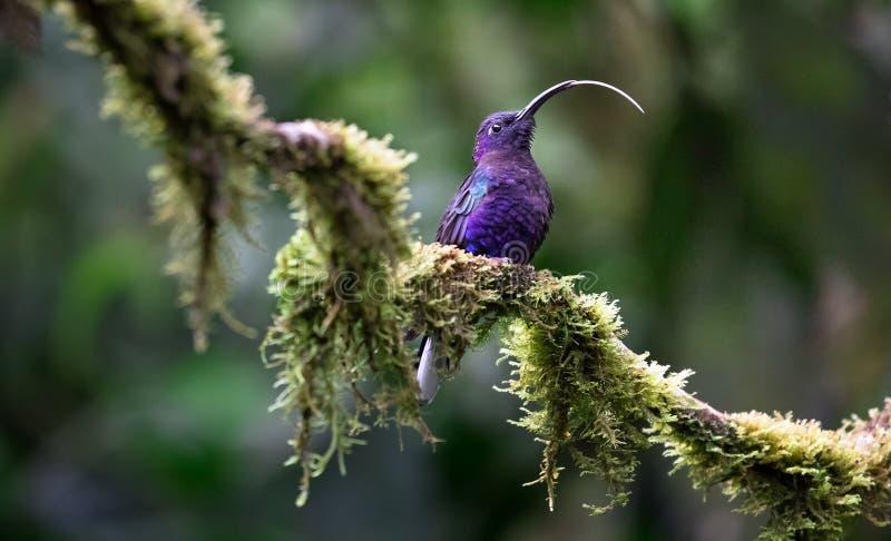 Violette het sabrewing Campylopterus hemileucurus, volwassen mannetje stock foto's