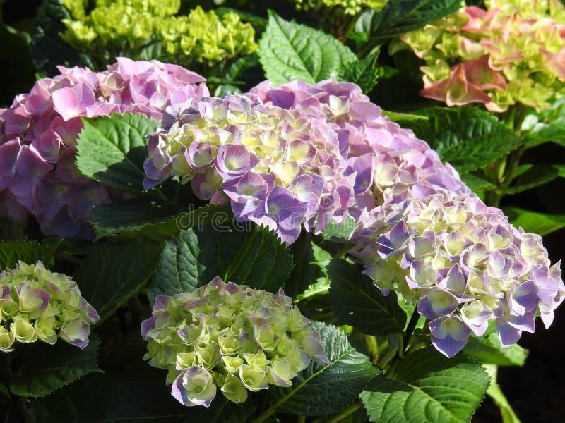 Violette hortensja kwitnie z ładnym światłem obrazy royalty free