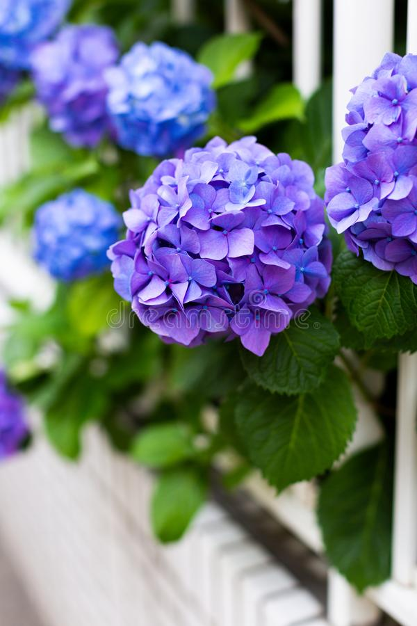 Violette hydrangea hortensia's en witte omheining royalty-vrije stock afbeelding