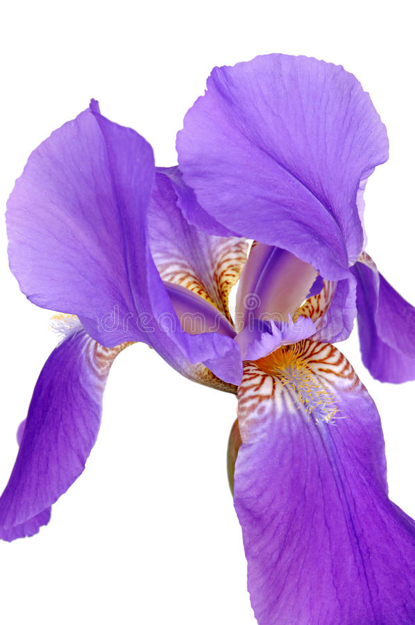 Violette iris royalty-vrije stock fotografie