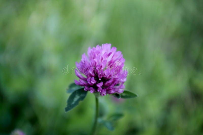 Violette klaver royalty-vrije stock afbeeldingen