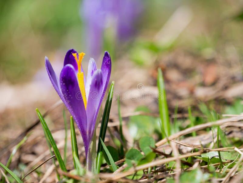 Violette kleine krokus op een bergopen plek stock afbeeldingen