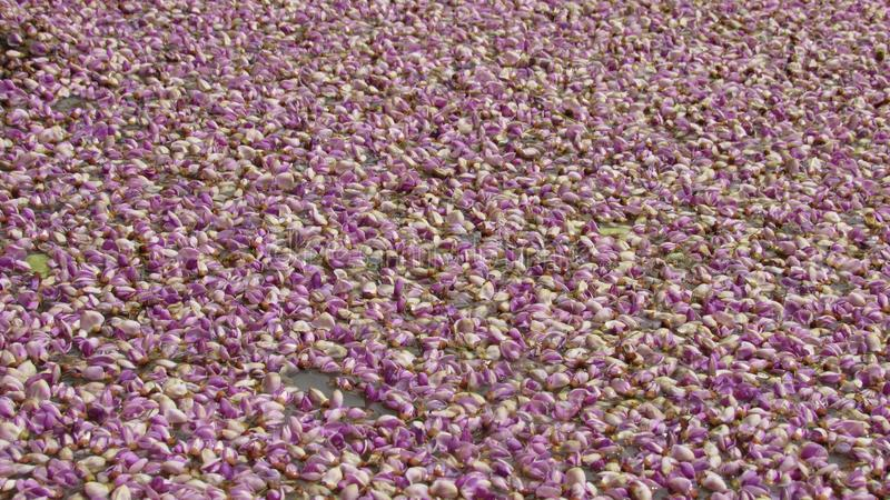 violette kleurenbloem op natuurlijke water aardige mooie achtergrond stock afbeeldingen