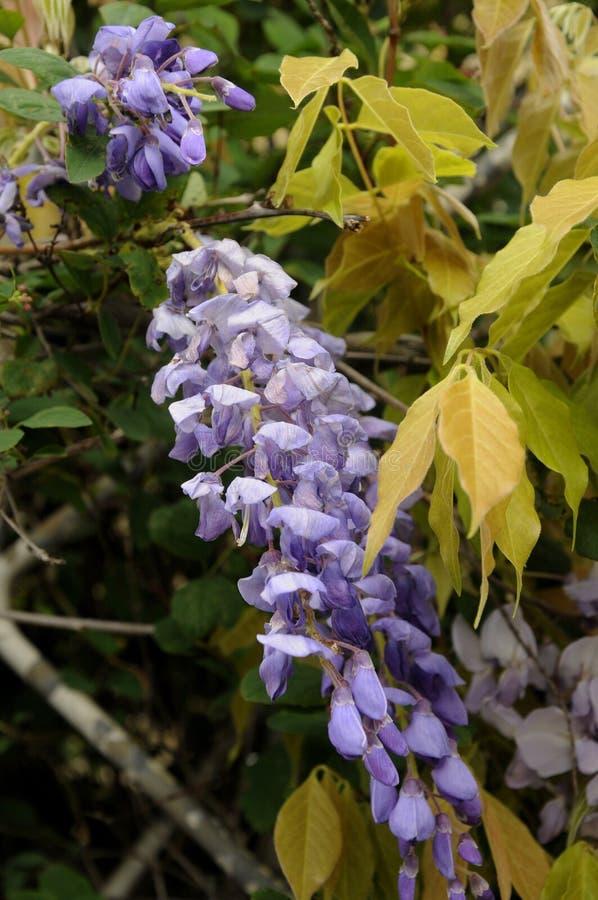VIOLETTE KLEURENbloemen stock afbeeldingen