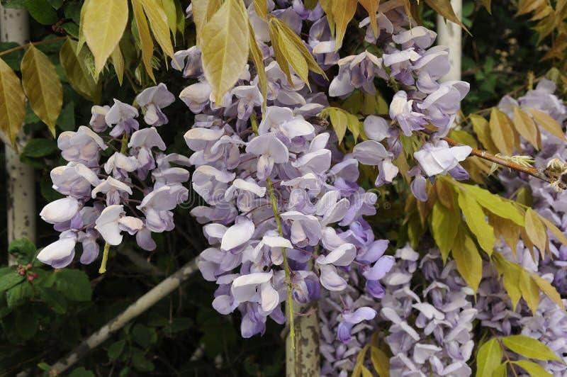 VIOLETTE KLEURENbloemen stock afbeelding