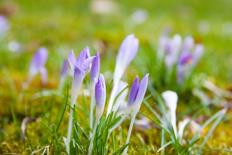 Violette krokus op een groene weide royalty-vrije stock afbeeldingen