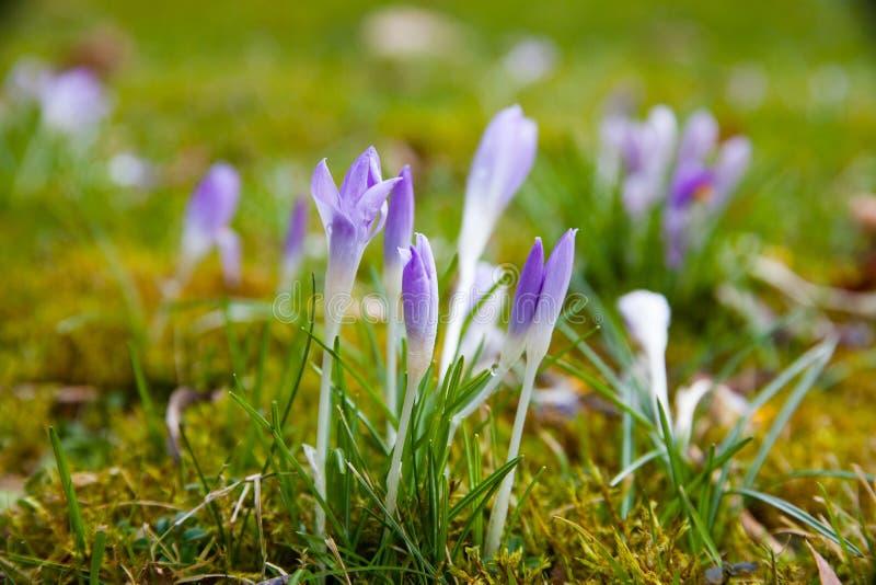 Violette krokus op een groene weide stock foto's