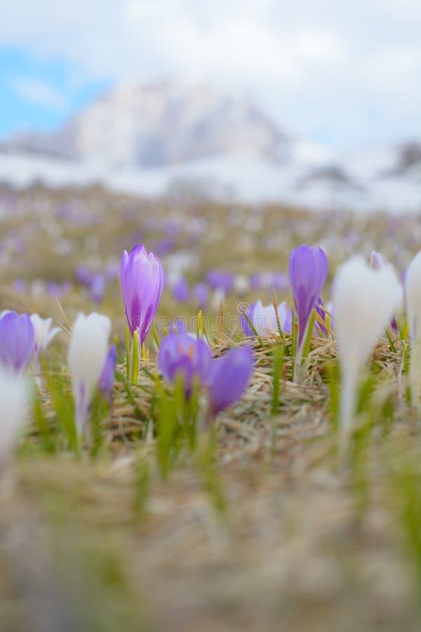 Violette krokus van een onduidelijk landschap royalty-vrije stock afbeelding