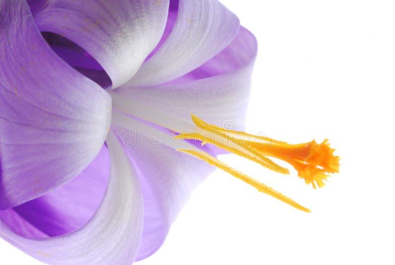 Violette Krokusblume lizenzfreie stockfotografie