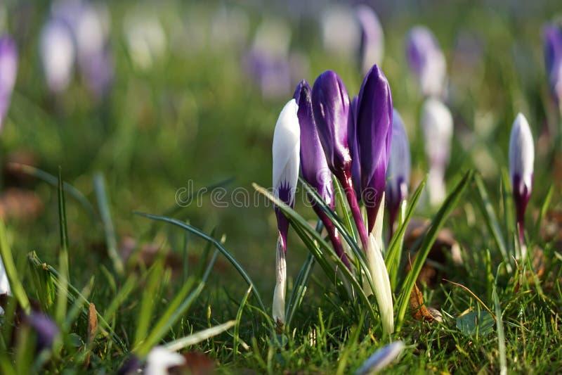 Violette Krokusfrühlingsblume lizenzfreie stockfotos