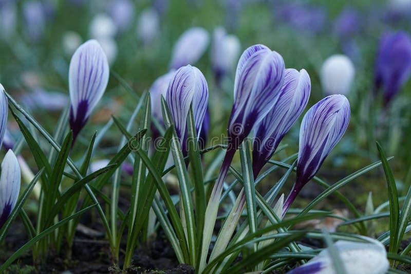 Violette Krokusfrühlingsblume lizenzfreies stockfoto
