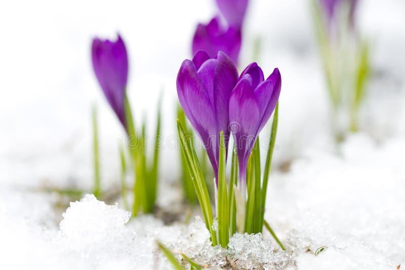 Violette krokussen stock foto