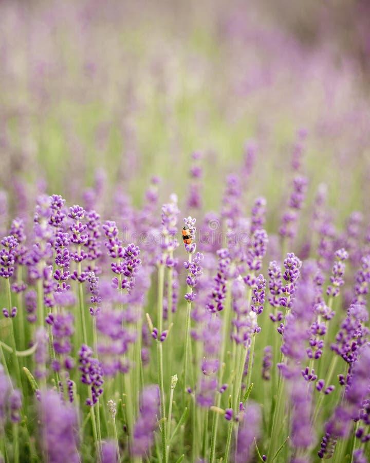 Violette Lavendelblumen der Nahaufnahme mit Wanze auf Feld Schopflavendel im Garten, weicher Lichteffekt lizenzfreies stockbild