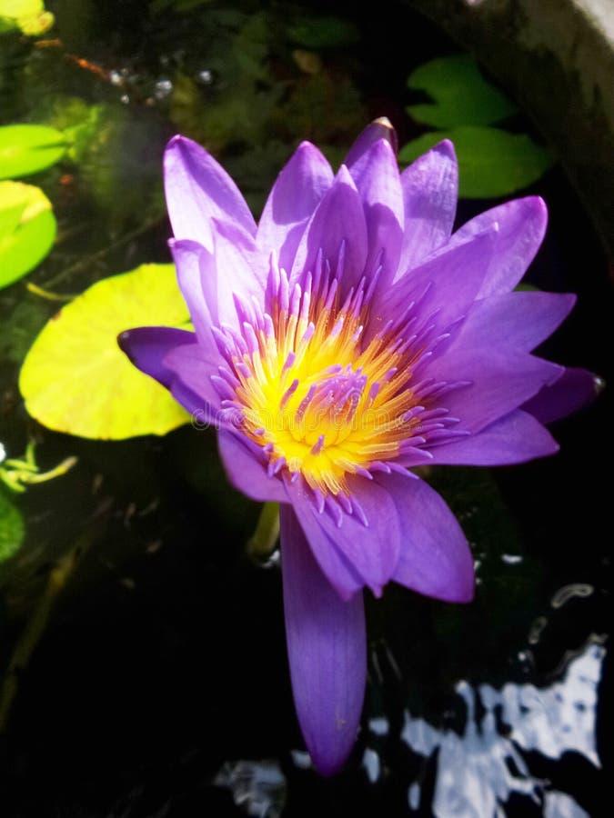 Violette Lotosblume lizenzfreie stockbilder