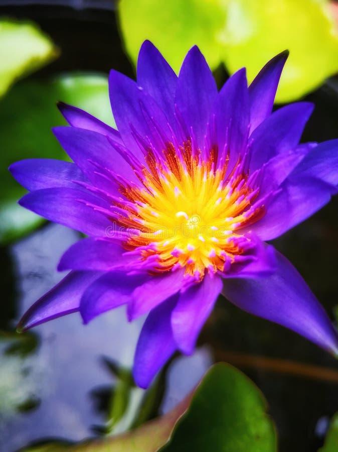 Violette lotusbloem stock afbeelding