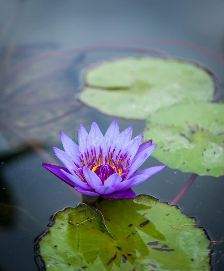 Violette lotusbloem stock foto