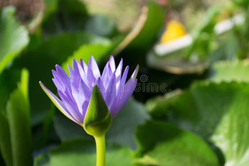 Violette lotusbloembloem in watervijver met braam backgroung, Thailand stock afbeeldingen