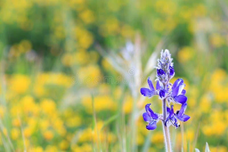 Violette lupinebloem op gebied van gele bloemen stock foto's