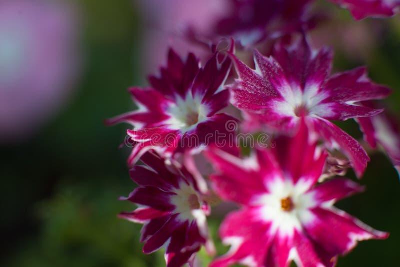 Violette Makroblume stockfotos