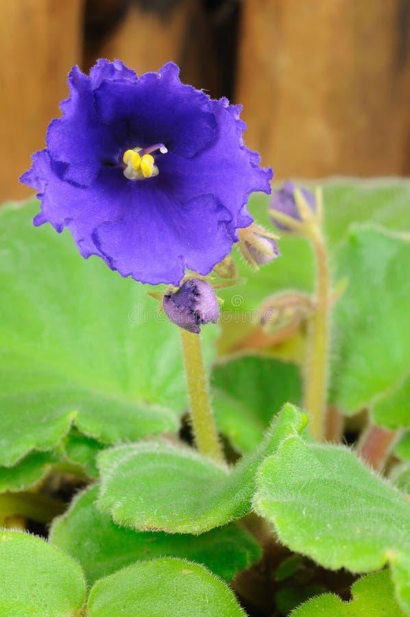 Violette Nahaufnahme stockfotos