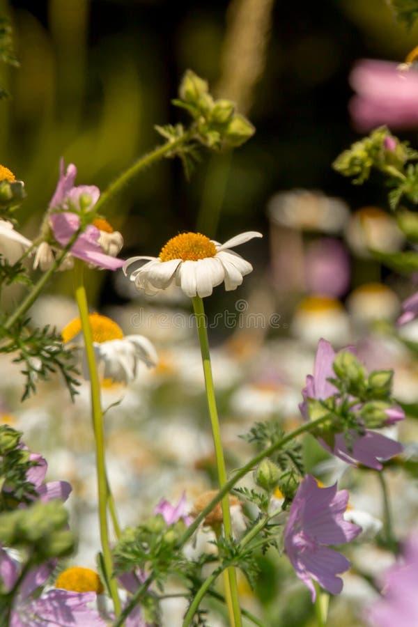 Violette violette naturelle de pré de fleurs photographie stock libre de droits