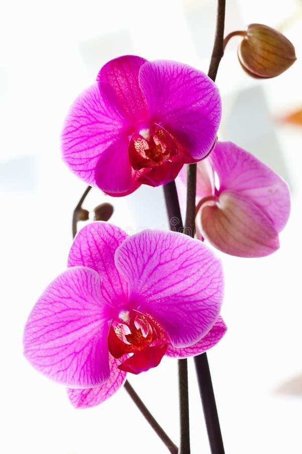 Violette Orchideeën Royalty-vrije Stock Foto