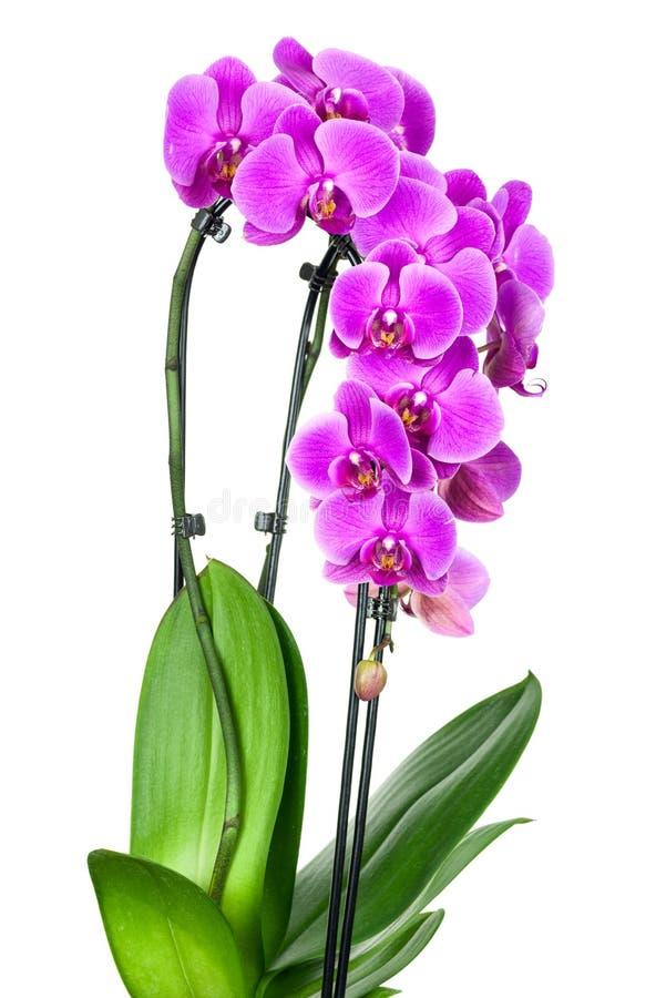 Violette orchideebloem stock afbeeldingen