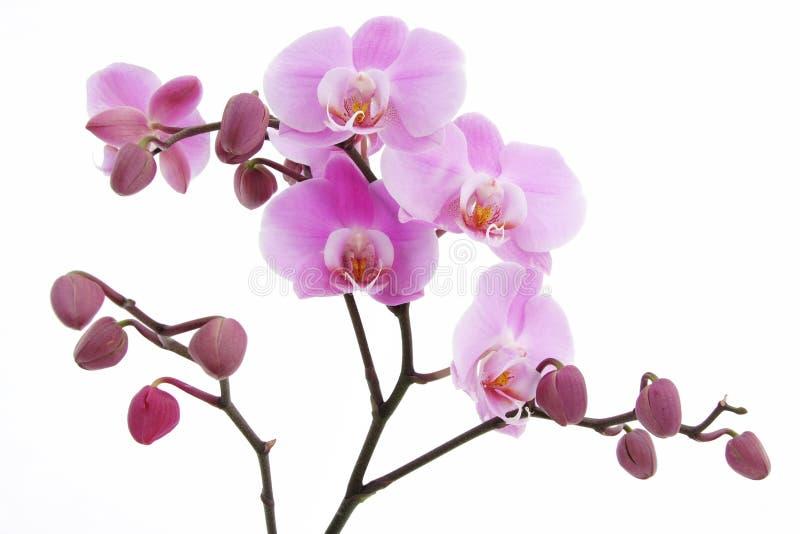 Violette Orchideeblume stockfotos