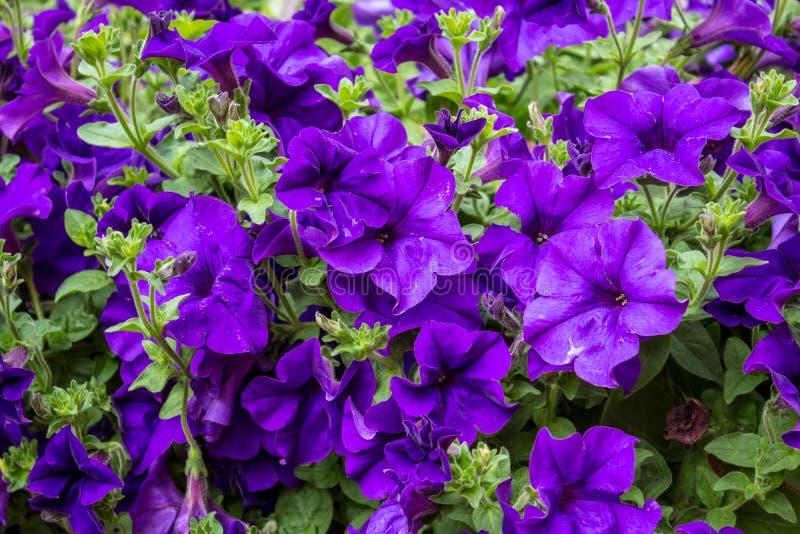 Violette petunia royalty-vrije stock afbeeldingen