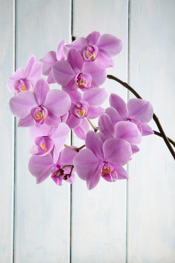 Violette phalaenopsis van de orchideebloem stock foto's