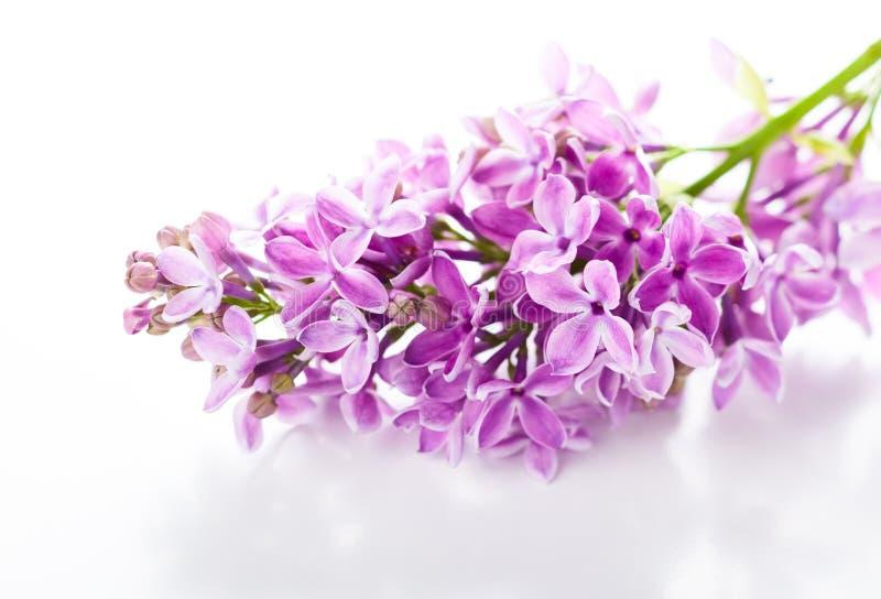 Violette sering royalty-vrije stock foto