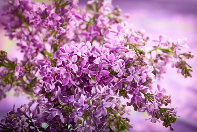 Violette sering stock foto's