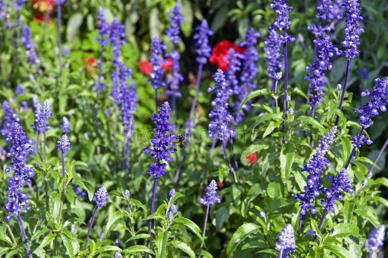 Violette tuinbloemen royalty-vrije stock foto's