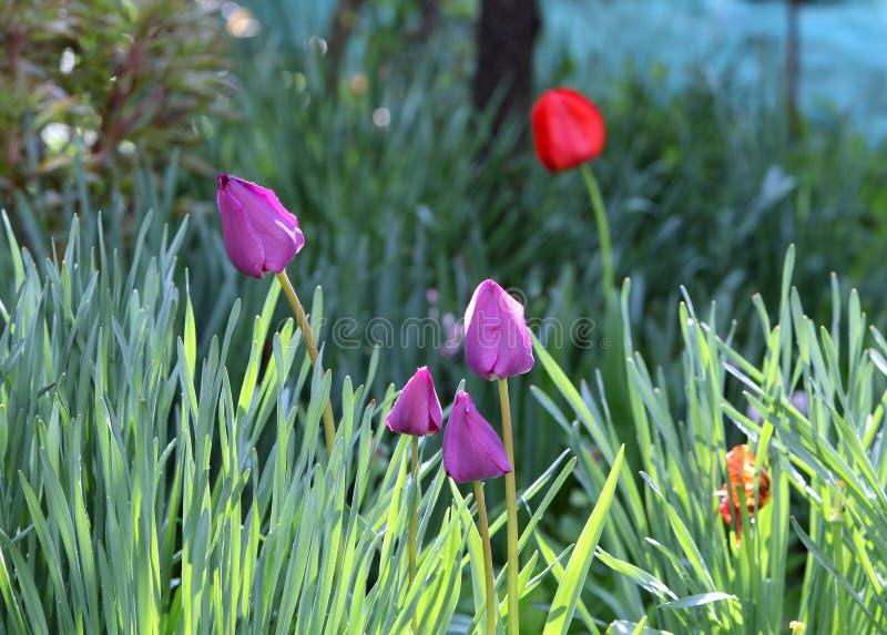 Violette tulpentuin royalty-vrije stock foto's