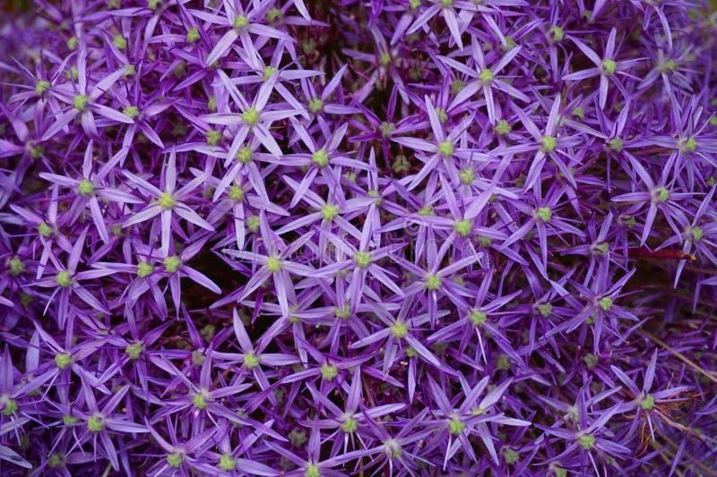 Violette uibloemen stock afbeeldingen