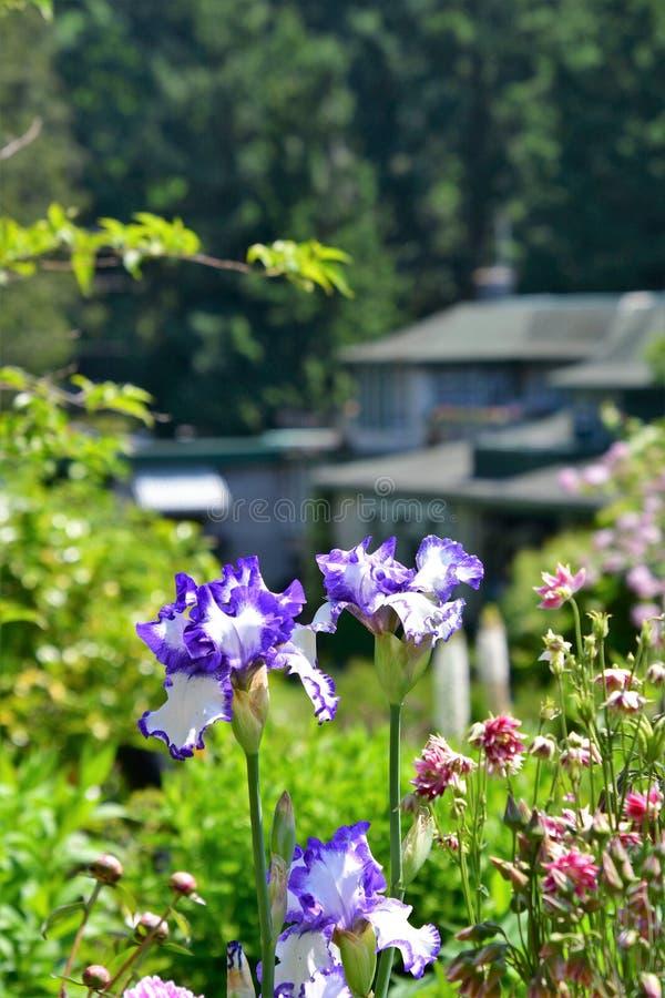 Violette und weiße Irisblumen, die auf dem Gartenhintergrund blühen lizenzfreie stockbilder