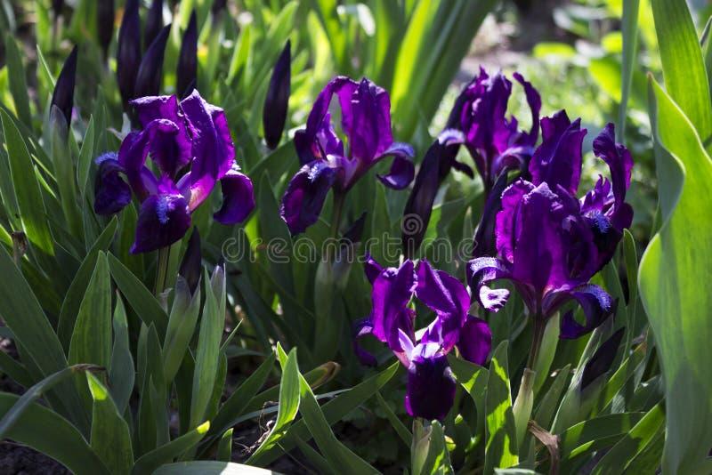 Violette unter Normalgröße liegende Iris blüht im Garten vor dem hintergrund anderer Blumen lizenzfreies stockbild