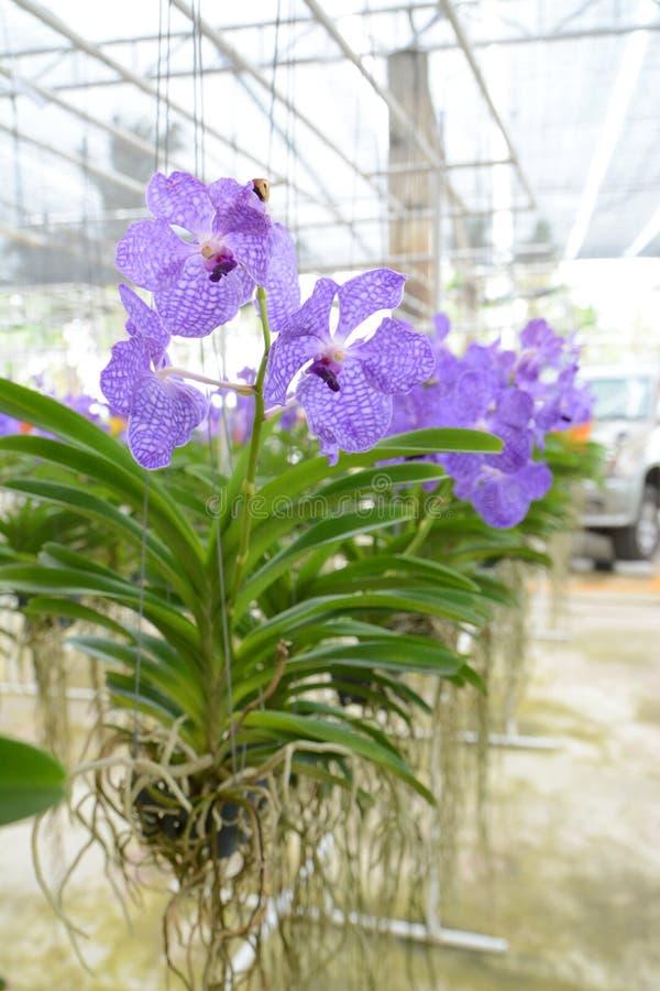 violette vanda orchidee stockbild bild von frische. Black Bedroom Furniture Sets. Home Design Ideas