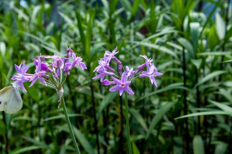 Violette violacea bloem-Tulbaghia stock foto's