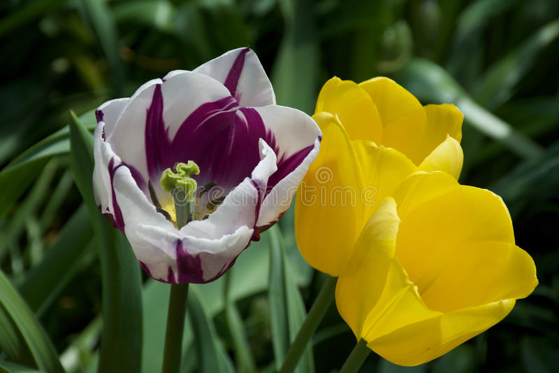 Violette, weiße und gelbe Tulpen, die im Frühjahr blühen lizenzfreies stockbild