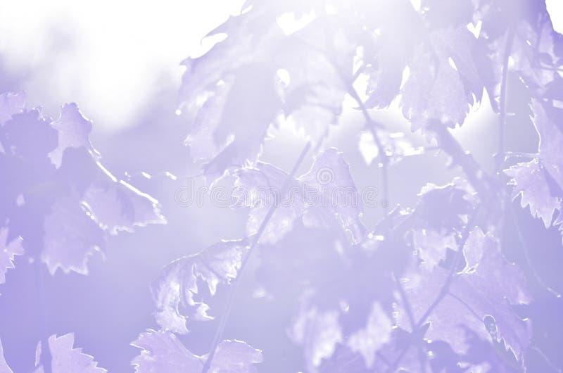 Violette wijnstokbladeren stock afbeelding