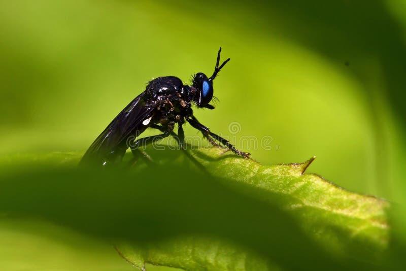 Violette zwart-legged roversvlieg, Dioctria-atricapilla stock foto's