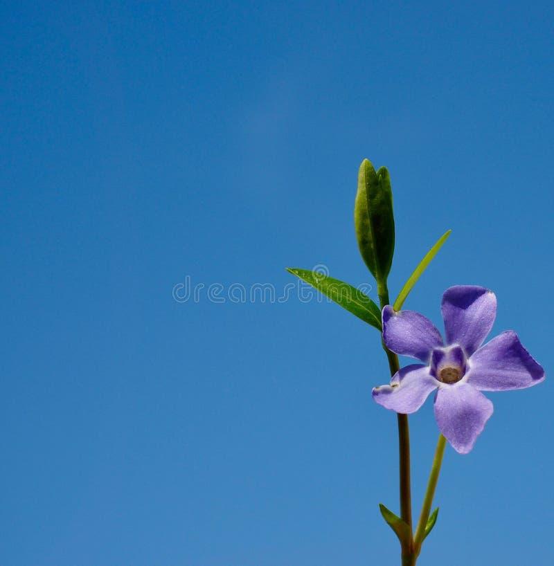Violetter Blumenabschluß oben lizenzfreies stockfoto