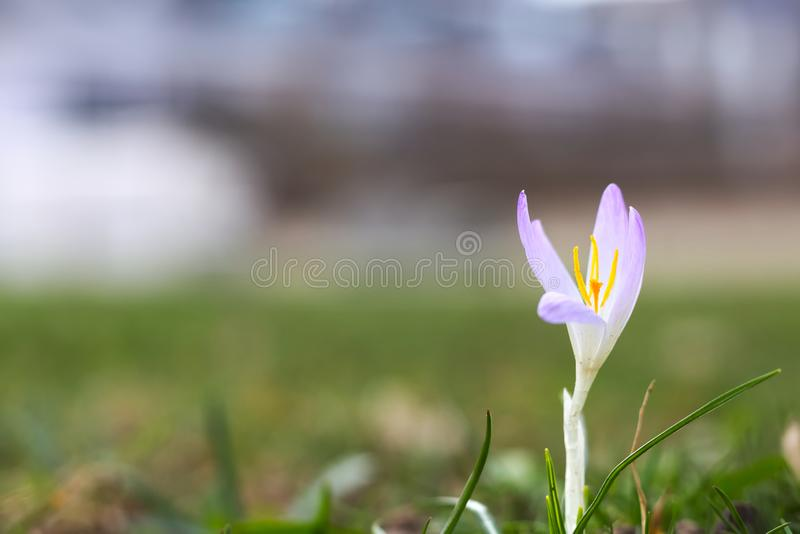 violetter Frühlingskrokus (Krokus vernus lizenzfreie stockbilder