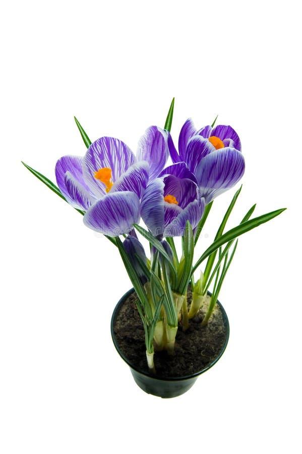 Violetter Krokus lizenzfreies stockbild