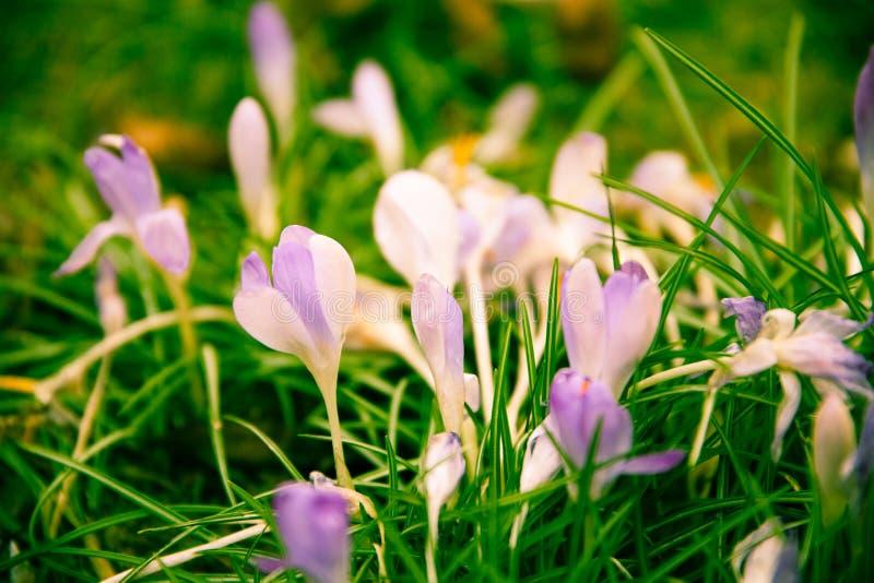Violetter Krokus auf einer grünen Wiese stockbild
