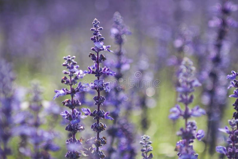 Violetter Lavendel stockbilder