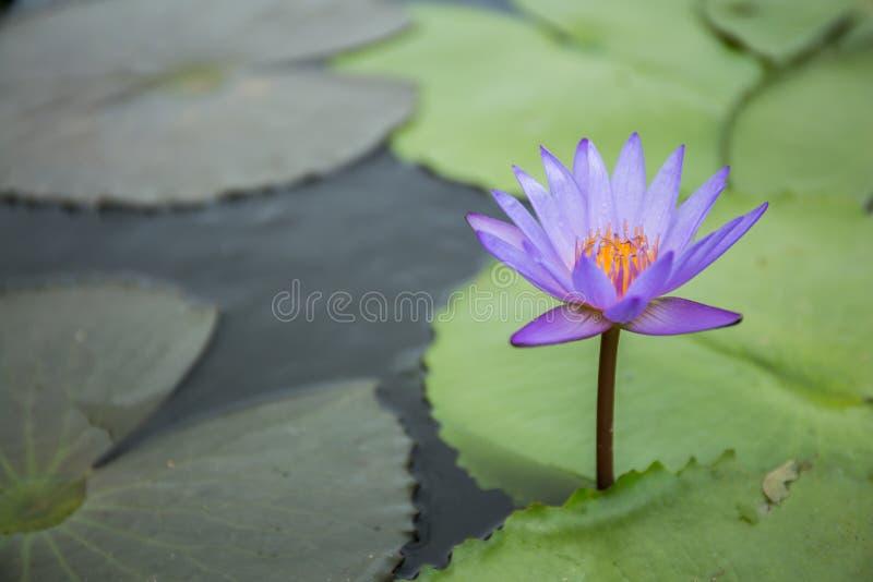 Violetter Lotos lizenzfreies stockbild