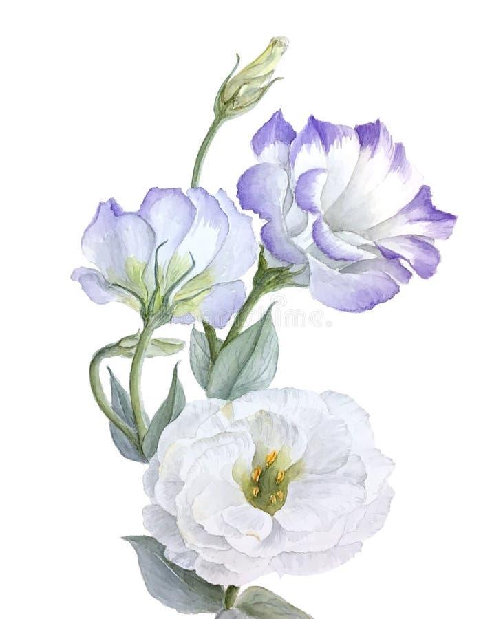 Violetter und weißer Eustoma blüht die Aquarellillustration, die auf einem weißen Hintergrund lokalisiert wird stockfoto