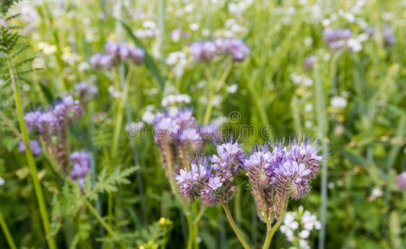 Violettes blühendes Lacy Phacelia stockfoto